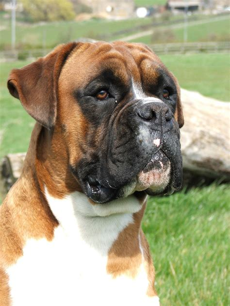boxer puppies ta boxer razas perros mascotas