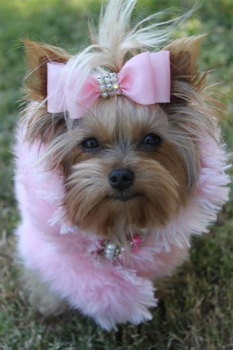 my yorkie is not 6984 best images about yorkie on