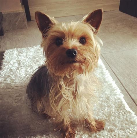 owning a yorkie 21 reasons why you should never own a terrier