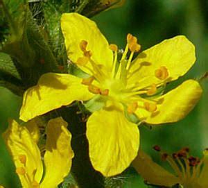 fiori di bach numeri agrimony o agrimonia www nutrizionearmonia it