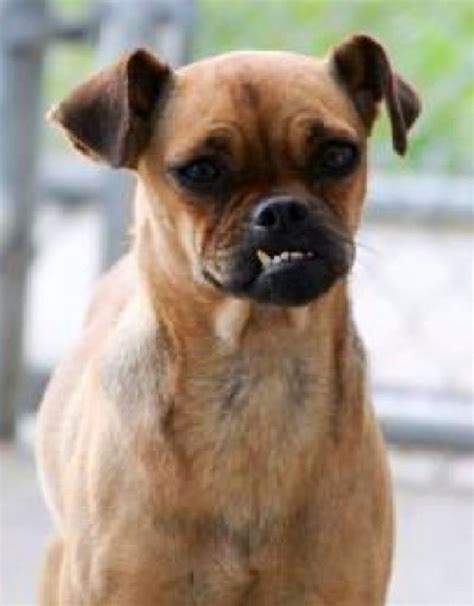 pug pinscher mix buffalo pug small breed rescue inc quinn s page