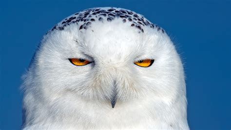 full hd wallpaper owl sleepy head brown eyes desktop backgrounds hd 1080p