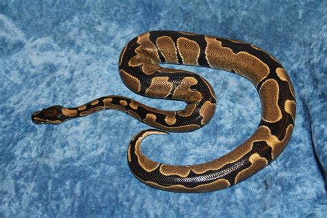 reduced pattern pastel ball python reduced pattern ball python by isaidno on deviantart