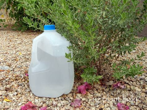 ramblings from a desert garden recycled milk jug for drip irrigation
