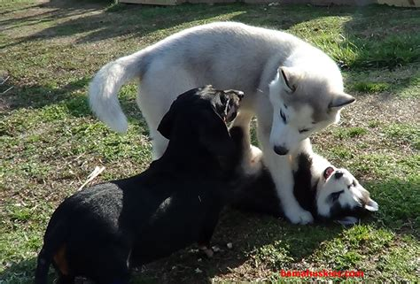 introducing a new puppy to another puppy introducing a new puppy in your home what to expect from your dogs siberian