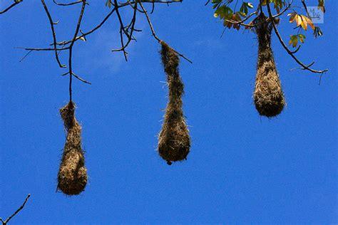 hanging bird nests tikal guatemala flickr photo sharing