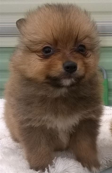 teddy pomeranian for sale in teddy bare pomeranian puppies for adoption pets for sale uk pet breeds picture