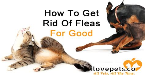 how to get rid of cats in backyard how do i get rid of fleas in my house how do i get rid