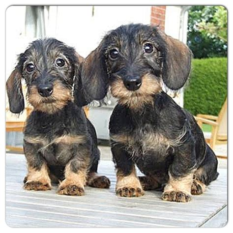 wire haired dachshund puppy dachshund puppies you all are such special looking doxies s