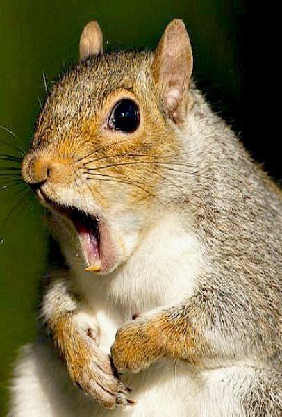 best 25 squirrels ideas on pinterest squirrel what do