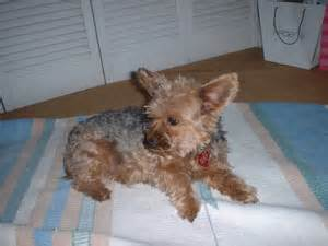 at what age do yorkies calm adoptions