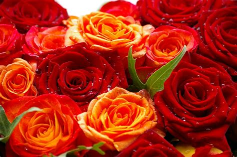 HD Wallpapers Nature Flowers Rose Images Pictures free
