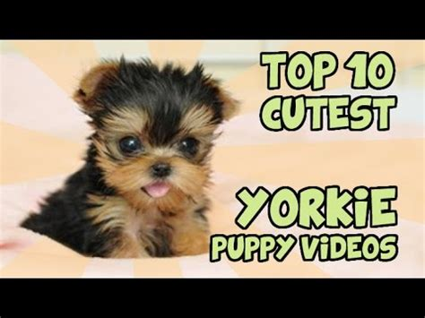 top 10 cutest yorkies top 10 cutest yorkie puppies