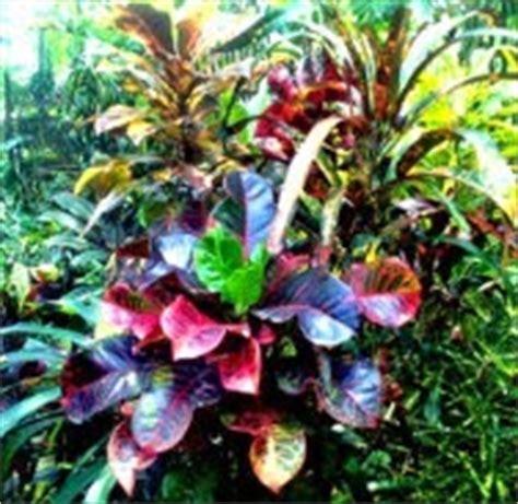 Tanaman Obat Herbal Pletekan herbal puring dan khasiatnya tanaman berkhasiat dan obat