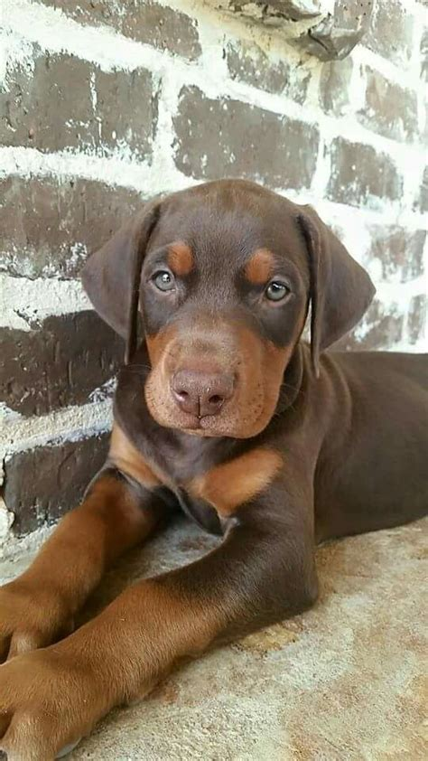 how much are doberman puppies 25 best ideas about doberman puppies on doberman pinscher puppy adorable