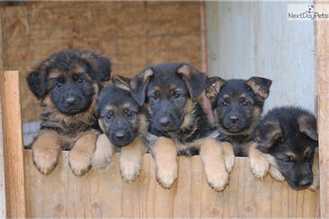 seattle puppies german shepherd puppies is a german shepherd puppy for sale in seattle breeds