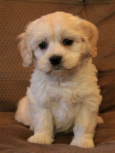 havanese puppies for sale in canada cocker spaniel havanese looks like cockapoo puppies cocker