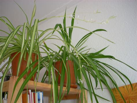 Formidable Plante Verte Tombante Interieur #5: chlorophytum-plante-interieur.jpg