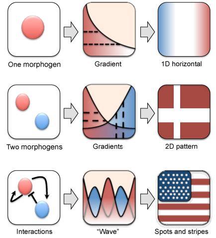 pattern formation morphogenesis understanding pattern formation during morphogenesis