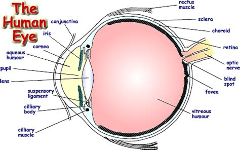 eyeball diagram labeled the human eye