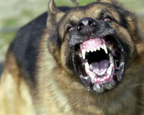 worst dogs for indy ranks 9th worst for attacks against postal workers theindychannel