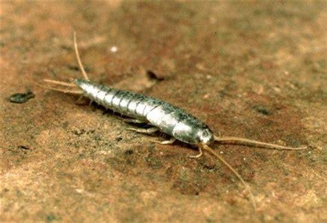piccoli vermi bianchi in casa pesciolini d argento come eliminarli