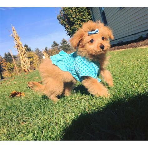 puppies for sale harrisburg pa pomapoo puppies for sale in pa pomapoo puppies for sale poodle