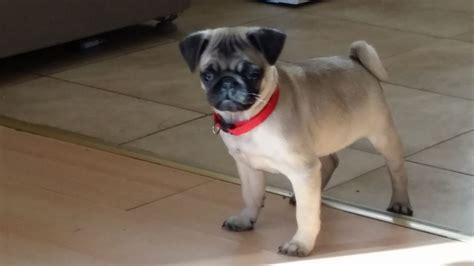 boy pug puppies for sale 1 lovely boy pug puppy for sale shefford bedfordshire pets4homes