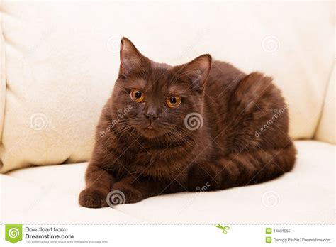 Brown Cat 2 brown cat shorthair royalty free stock photo