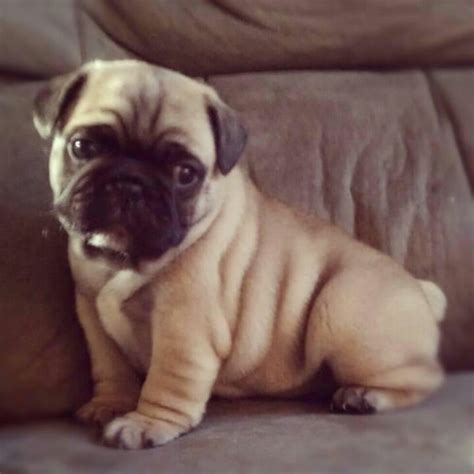 half pug half bulldog and half pug puppy pug and