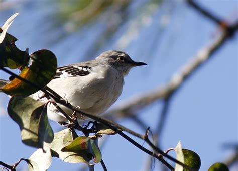 northern mockingbird photo outdoor gulf coast of