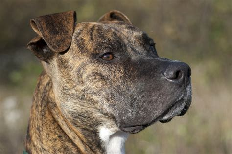 Pit Bull Breeds Also Search For Pit Bull What S In A Breed The Bark