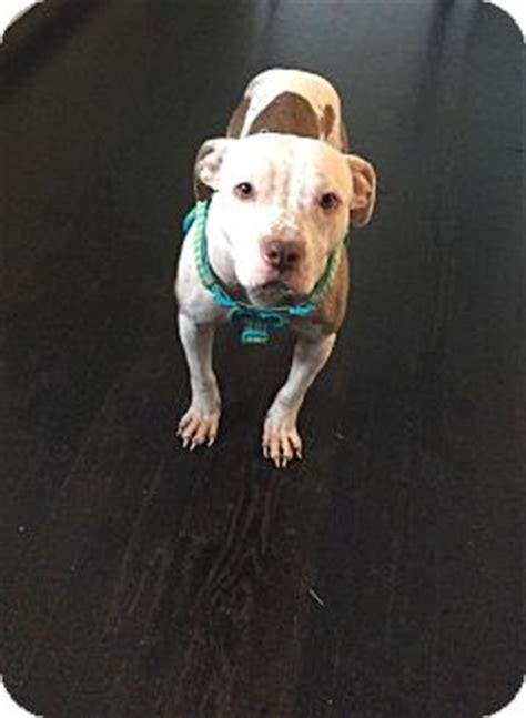 pitbull puppies ct in ct adopted manchester ct pit bull terrier mix