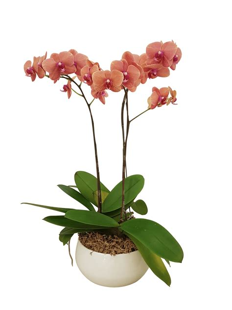 potted orchids