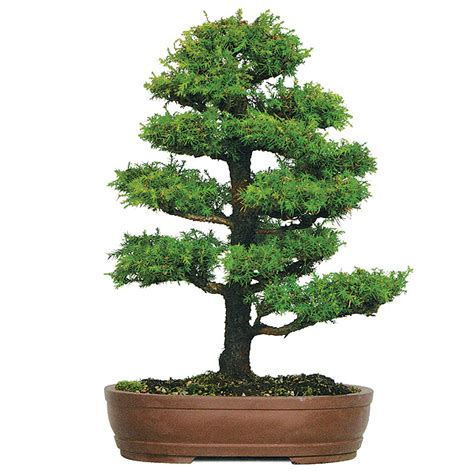 Japanese Home Decor Ideas dwarf cryptomeria care