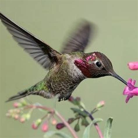 11 best images about hummingbirds on pinterest the