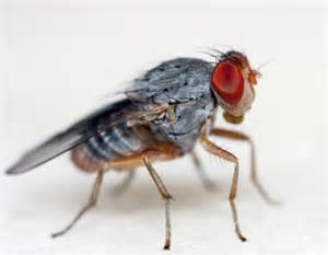 Fruit Flies In Drain How To Get Rid Of Drain Fly Pestmall Blog