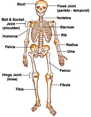 7 Things To About Bones by What Are The Systems Of The Human 11 Human