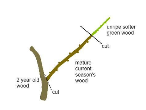 propagating hardwood cuttings deep green permaculture