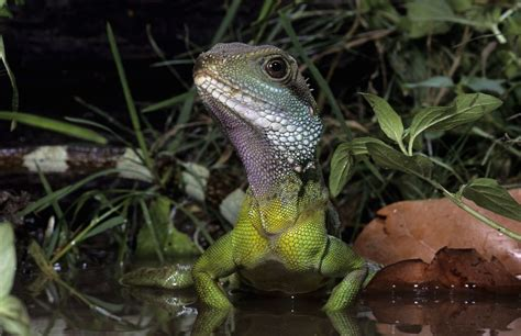 chinese water dragon lighting heat and uvb lighting for pet water dragons