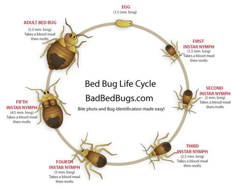 bed bugs lifespan bed bug life cycle easy to understand growth chart
