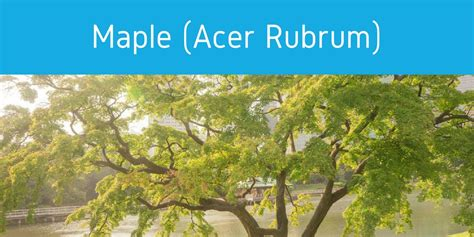 maple tree allergies tree pollen allergies in florida everything you need to