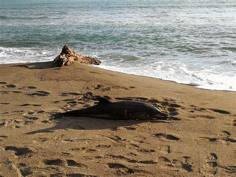 ufficio circondariale marittimo porto santo stefano delfino spiaggiato a capalbio interviene la guardia