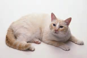 gallery for gt cream cat with blue eyes