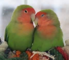Birds photos images love birds imag love birds pictures love birds