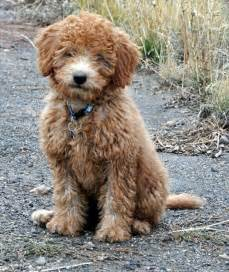 doodle uk ruby our grown minilabradoodle mini