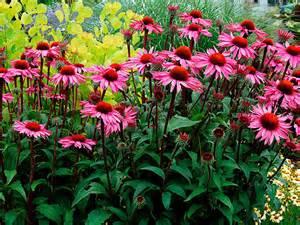 Coneflower plants echinacea northeast nursery