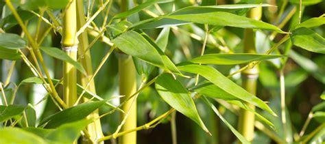 Obral Bamboo Leaf Essence Herbal Suplement bamboo bambusa arundinacea tabashir