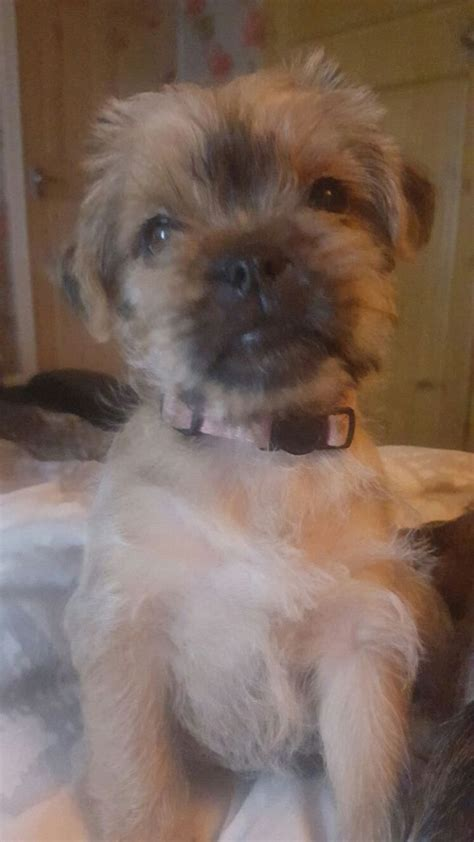 pug yorkie cross terrier cross pug puppy s hull east of pets4homes
