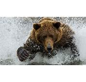 Brown Bear Playing In Water HD Wallpaper  StylishHDWallpapers